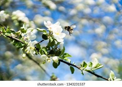 Spring flowering of apple trees in the garden. Apple orchard. Bee pollinates white flowers of apple trees. Spring weather, sunny weather.