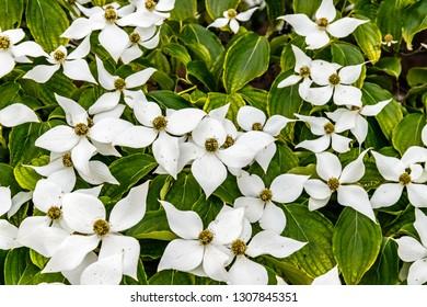 Spring flowering background with Cornus kousa var. chinensis or Chinese dogwood