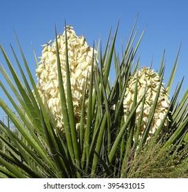 Spring flowering banana yucca against the sky; Riparian Preserve in Gilbert Arizona