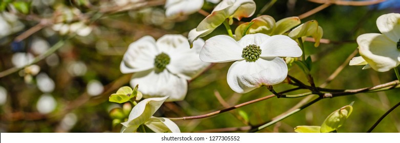 Spring flowering banner background with Cornus Ascona flowers. Inflorescence Pacific dogwood ( Cornus nuttallii )