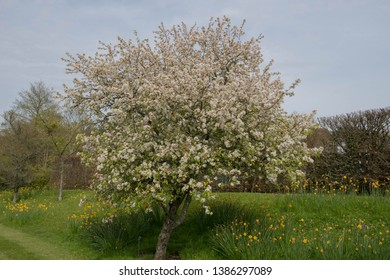 Spring Flowering Blossom of a Crab Apple Tree (Malus 'Evereste') in a Country Cottage Garden in Rural Devon, England, UK