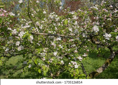 Spring Flowering Blossom on an Apple Tree (Malus domestica 'Jonagold') Growing in an Orchard in a Country Cottage Garden in Rural Devon, England, UK