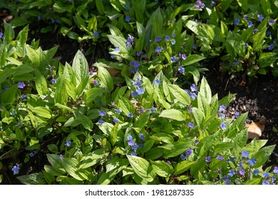 Spring Flowering Blue Flowers on a Cappodacian Navelwort Plant (Omphalodes cappadocica 'Cherry Ingram') Growing in a Shady Herbaceous Border in a garden in Rural Devon, England, UK