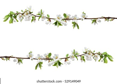 Spring flowering branches of Cherry blossom isolated on white background