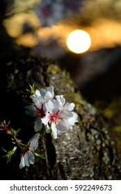Spring flowering branches, white flowers at sunset, blossoms Almond close up. Los Velez,Almeria, Spain