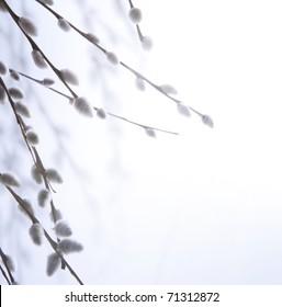 spring flowering branches of willow