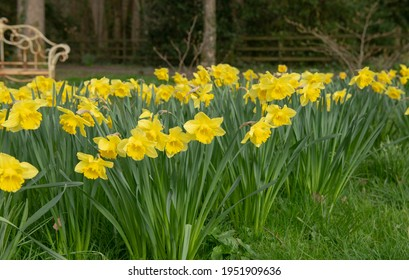 Spring Flowering Bright Golden Yellow Daffodils (Narcissus 'King Alfred') Growing in a Green Grass Meadow in a Garden in Rural Devon, England, UK