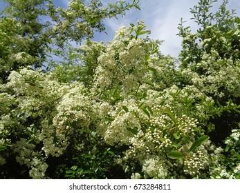 Spring flowering bush in the garden