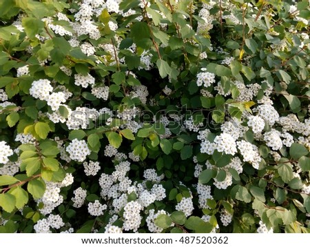 Spring flowering bush studded small white stock photo edit now spring flowering bush studded with small white flowers close up mightylinksfo