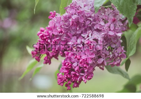 Spring Flowering Bushes City Branches Lilac Stock Photo Edit Now