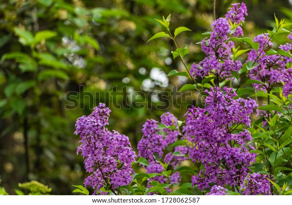 Spring flowering of bushes of pink-purple lilac Syringa microphylla on blurry dark green background. Selective focus. Landscaped garden. Nature concept for design.