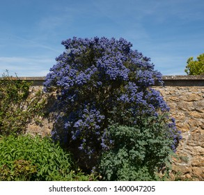Spring Flowering Californian Lilac (Ceanothus) Growing by a Sandstone Wall in a Country Cottage Garden in Rural Somerset, England, UK