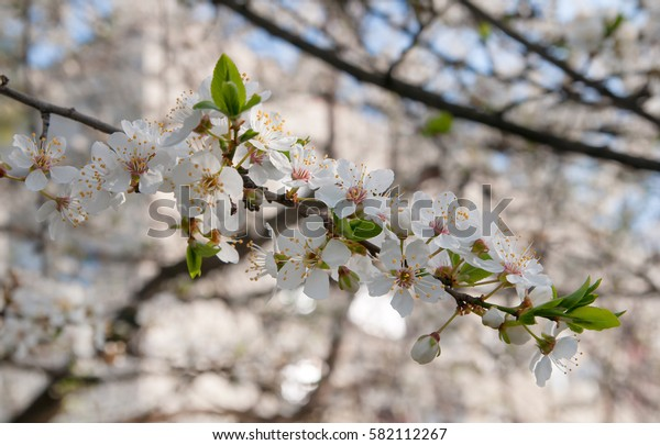 spring flowering of cherry