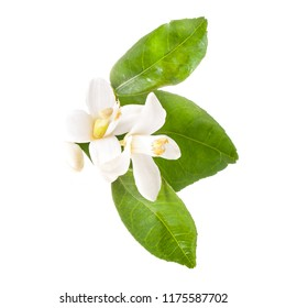 spring, flowering of citrus flowers and buds of an orange isolated on white background