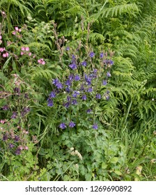 Spring Flowering Common Columbine (Aquilegia vulgaris) and Red Campion (Silene dioica) in a Hedgerow on the South West Coast Path in Rural Cornwall, England, UK