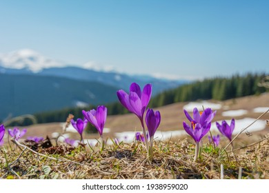 Spring flowering crocus on the slopes and mountain valleys of the Ukrainian Carpathian Mountains with beautiful views of snow-capped peaks.