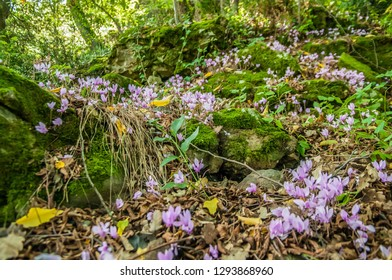 spring flowering of cyclamens,  cyclamens in the meadow, spring blooms,