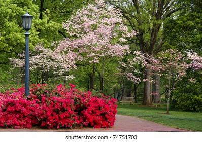 Spring flowering Dogwood and Azaleas
