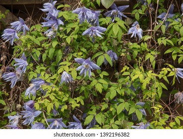 Spring Flowering Downy Clematis (Clematis macropetala) Climbing over a Wooden Column of a Summerhouse in a Country Cottage Garden in Rural Devon, England, UK