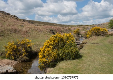 Spring Flowering Gorse (Ulex europaeus) by the Banks of the River Lyd on the Moorland of Dartmoor National Park in Rural Devon, England, UK