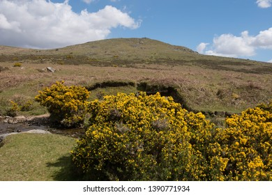 Spring Flowering Gorse (Ulex europaeus) on the Banks of the River Lyd with with Brat Tor and Widgery Cross in the Background within Dartmoor National Park in Rural Devon, England, UK