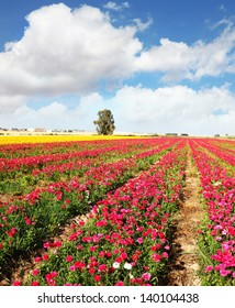 Spring flowering. Huge fields of peony garden buttercups grow in the southern country.