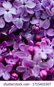 Spring flowering lilac. Macro shot of lilac flowers.
