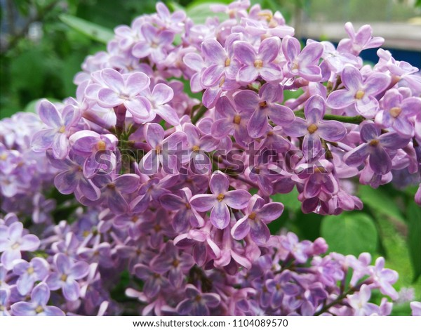 Spring flowering of lilacs