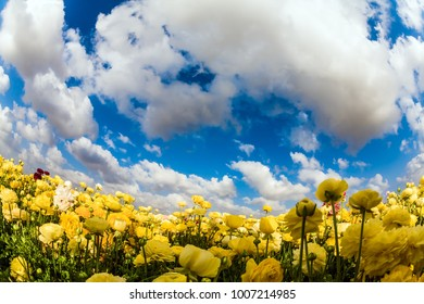 Spring flowering. Magnificent field of flowering yellow buttercups. Light spring clouds fly in the blue sky. Concept of ecological and rural tourism