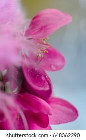 Spring flowering ornamental Apple trees. Wild Apple tree in a vase