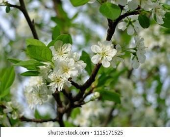 Spring flowering pear tree.