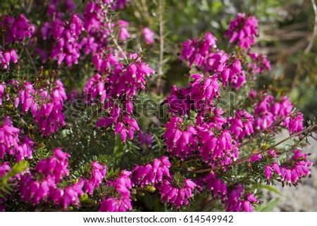Spring Flowering Pink Heather Flower Stock Photo Edit Now