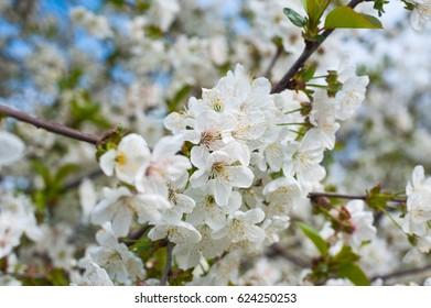 Spring flowering trees