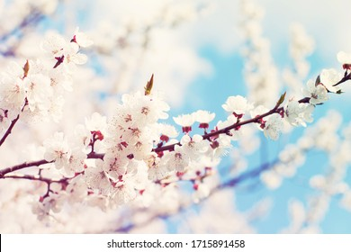 Spring flowering trees with white flowers in the garden against the blue sky. Spring background, toned