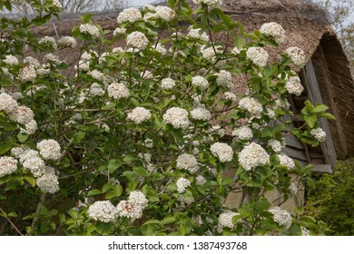 Spring Flowering Viburnum carlesii 'Diana' (Arrowwood) by a Thatched Roof Summerhouse in a Country Cottage Garden in Rural Devon, England, UK