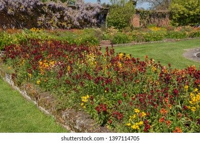 Spring Flowering Wallflowers (Erysimum) Growing in a Herbaceous Border or Flower Bed in a Country Cottage Garden in Rural Somerset, England, UK