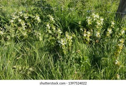 Spring Flowering White Dead-nettle (Lamium album) on a Grassy Roadside Verge in the Rural Village of Kingsclere in Hampshire, England, UK