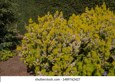 Spring Flowering White Flowers of Tree Heath 'Alberts Gold' (Erica arborea var. alpina f.aureifolia) in a Rockery  with a Yew Hedge Background in Rural Devon, England, UK