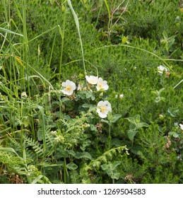 Spring Flowering Wild Field Rose (Rosa arvensis) in a Hedgerow on the South West Coast Path in Rural Cornwall, England, UK