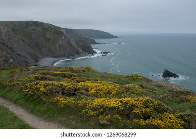 Spring Flowering Yellow Gorse (Ulex europaeus) on a Cliff Top on the South West Coast Path in Rural Cornwall, England, UK