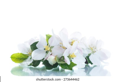 spring flowers of apple on a white background