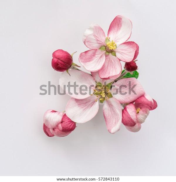 Весенние цветы. Цветение яблони с зелеными листьями на сером фоне