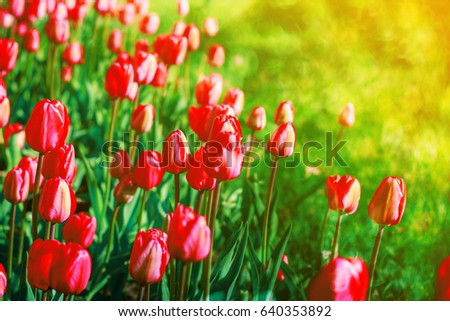 Spring flowers background red flowers tulips stock photo edit now spring flowers background red flowers tulips lit by sunlight soft selective focus bright mightylinksfo