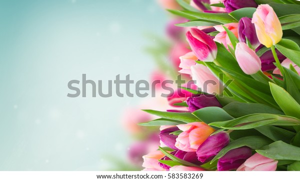 spring flowers banner - bunch of pink tulip flowers on blue sky background