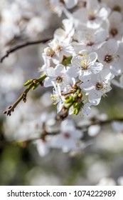 Spring flowers. Beautifully blossoming tree branch