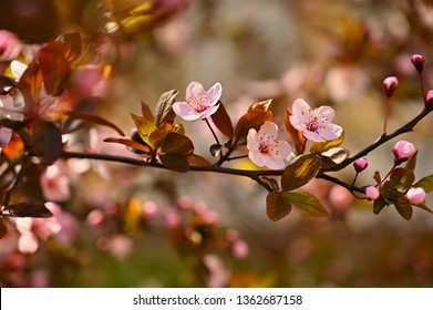 Spring flowers. Beautifully blossoming tree branch. Cherry - Sakura and sun with a natural colored background
