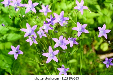 Spring flowers- bells on the field
