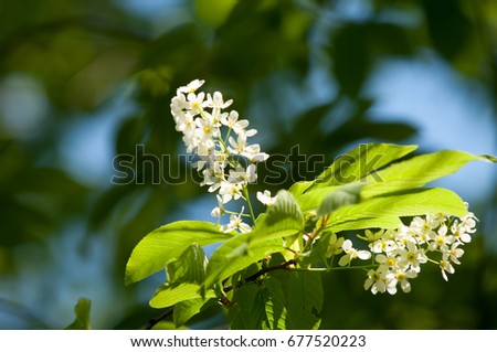 Spring flowers bird cherry tree white stock photo edit now spring flowers bird cherry a tree with white fragrant flowers collected in a mightylinksfo