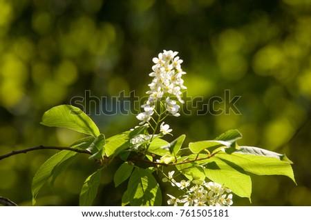 Spring Flowers Bird Cherry Tree White Stock Photo Edit Now