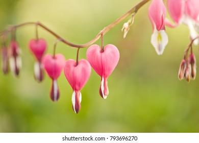 Spring flowers. Bleeding Heart flower, Dicentra spectabilis/toned photo